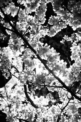 soku_25715.jpg :: 植物 花 桜 サクラ 夜桜
