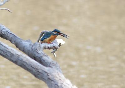 soku_25717.jpg :: 動物 野鳥 カワセミ