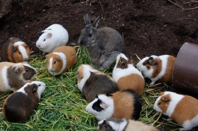soku_25721.jpg :: 上野動物園 モルモット ウサギ