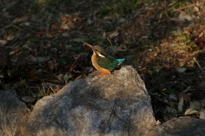 soku_25722.jpg :: 動物 野鳥 カワセミ