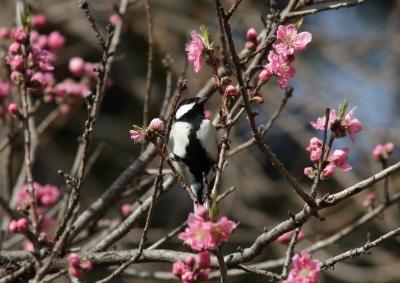 soku_25728.jpg :: 動物 野鳥 シジュウカラ 花桃