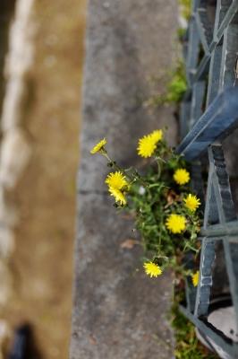 soku_25741.jpg :: 植物 花 タンポポ
