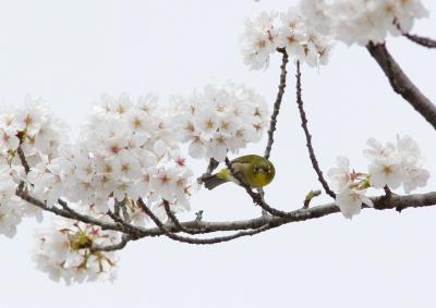 soku_25777.jpg :: 動物 野鳥 メジロ 桜