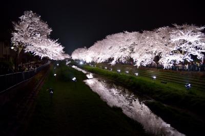 soku_25780.jpg :: 夜桜 ライトアップ 満開