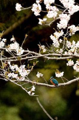 soku_25793.jpg :: 植物 花 桜 サクラ 動物 鳥 野山の鳥 カワセミ