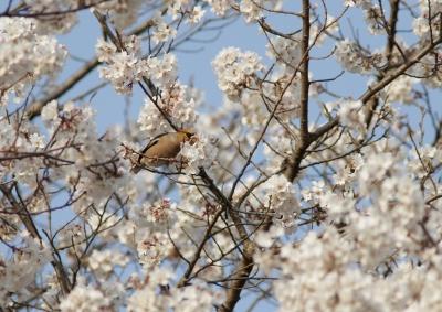 soku_25797.jpg :: 動物 野鳥 シメ 桜