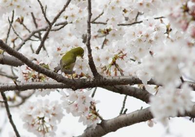 soku_25800.jpg :: 動物 野鳥 メジロ 桜