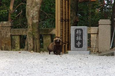 soku_25815.jpg :: 野生動物 タヌキ 五台山 竹林寺