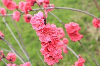 soku_25847.jpg :: 植物 花 梅 赤いウメ