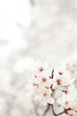 soku_25870.jpg :: 植物 花 桜 サクラ 満開 ハイキー