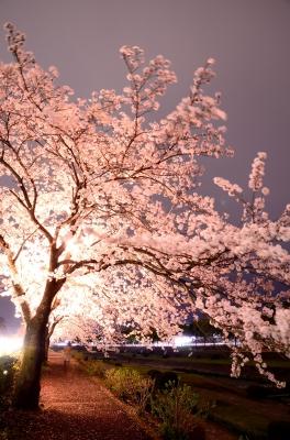 soku_25885.jpg :: 植物 花 桜 サクラ 夜桜
