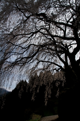 soku_25914.jpg :: 植物 花 桜 サクラ 枝垂れ桜