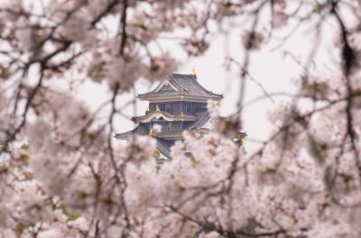 soku_25948.jpg :: 建築 建造物 城 岡山城 植物 花 桜 サクラ