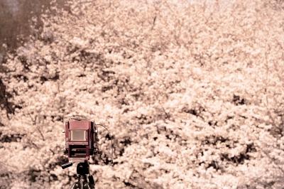 soku_25956.jpg :: 植物 花 桜 サクラ カメラ機材 カメラ