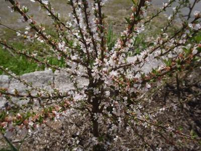 soku_25958.jpg :: 植物 花 桜 サクラ