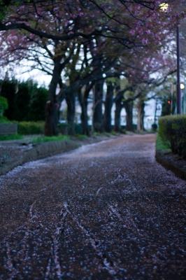 soku_25989.jpg :: 植物 花 桜 サクラ 散華