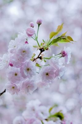 soku_25994.jpg :: 植物 花 桜 サクラ 八重桜