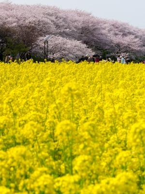 soku_26014.jpg :: 植物 花 桜 サクラ 満開 菜の花 圧縮効果?いいえトリミングです