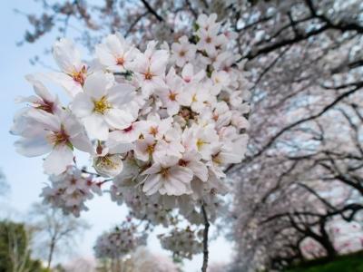 soku_26015.jpg :: 植物 花 桜 サクラ 広角