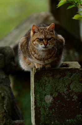 soku_26018.jpg :: 動物 哺乳類 猫 ネコ