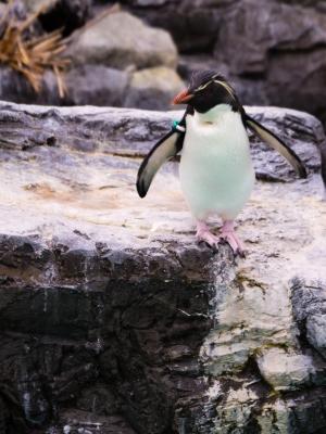 soku_26024.jpg :: 動物 鳥 ペンギン