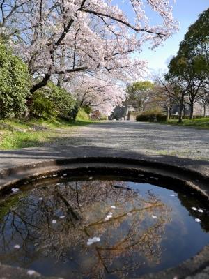 soku_26039.jpg :: 大坂城 桜 ソメイヨシノ 満開