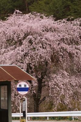 soku_26083.jpg :: SD1 桜 春 バス停 田舎 長野 信州