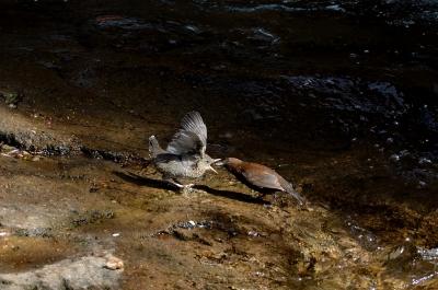 soku_26157.jpg :: 動物 鳥 野山の鳥 渓流 カワガラス 雛 給餌