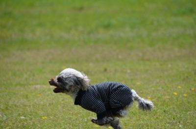 soku_26163.jpg :: 動物 ペット 犬 RUN