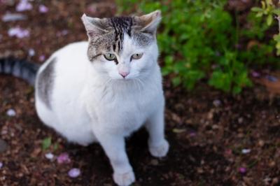 soku_26195.jpg :: 動物 哺乳類 猫 ネコ