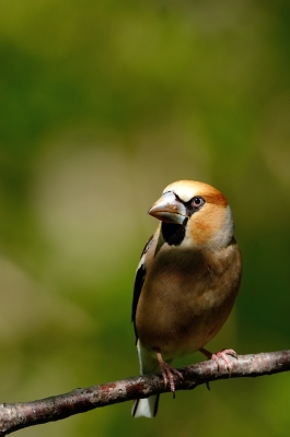 soku_26208.jpg :: 動物 鳥 野鳥 自然の鳥 シメ