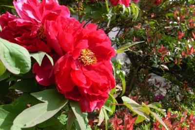 soku_26215.jpg :: 植物 花 赤い花