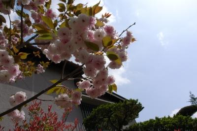 soku_26216.jpg :: 植物 花 桜 サクラ 八重桜