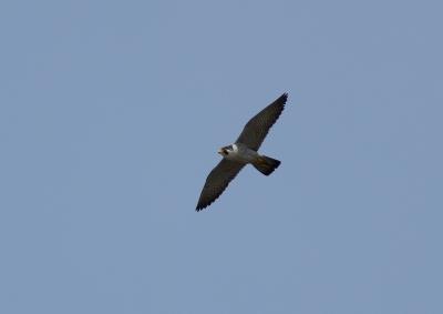soku_26250.jpg :: 動物 野鳥 自然の鳥 ハヤブサ