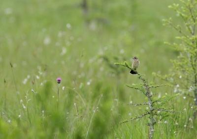 soku_26338.jpg :: 動物 鳥 野鳥 自然の鳥 ノビタキ