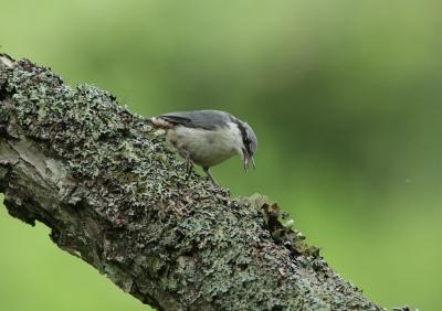 soku_26341.jpg :: 動物 鳥 野鳥 自然の鳥 ゴジュウカラ