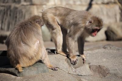 soku_26343.jpg :: 動物 哺乳類 猿 サル