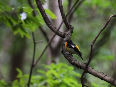 soku_26344.jpg :: 動物 鳥 野鳥 自然の鳥 キビタキ
