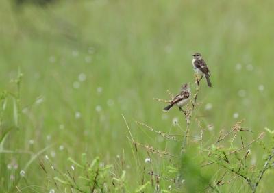 soku_26346.jpg :: 動物 野鳥 自然の鳥 ノビタキ