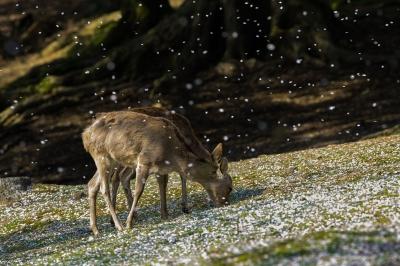soku_26367.jpg :: 動物 哺乳類 鹿 シカ