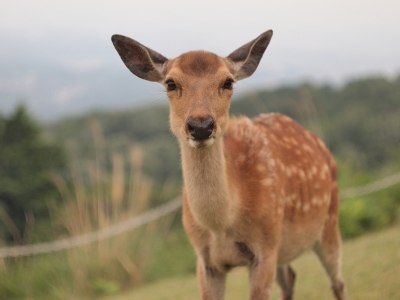 soku_26371.jpg :: 動物 哺乳類 鹿 シカ 小鹿 バンビ