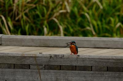 soku_26372.jpg :: 動物 鳥 野鳥 自然の鳥 カワセミ