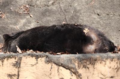 soku_26373.jpg :: 動物 哺乳類 熊 クマ