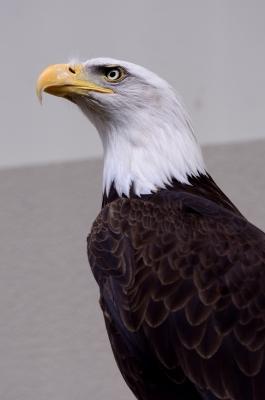 soku_26378.jpg :: 動物 鳥 猛禽類 鷲 ハクトウワシ 日本平動物園
