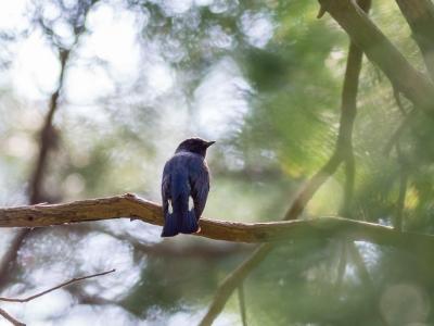 soku_26390.jpg :: 動物 鳥 野鳥 自然の鳥 オオルリ
