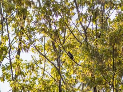 soku_26391.jpg :: 動物 鳥 野鳥 自然の鳥 オオルリ