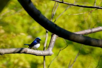 soku_26393.jpg :: 動物 鳥 野鳥 自然の鳥 オオルリ