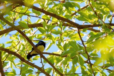 soku_26394.jpg :: 動物 鳥 野鳥 自然の鳥 オオルリ