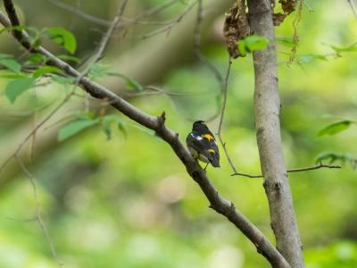 soku_26427.jpg :: 動物 鳥 野鳥 自然の鳥 キビタキ