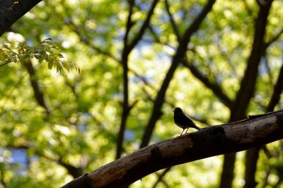 soku_26428.jpg :: 動物 鳥 野鳥 自然の鳥 クロツグミ